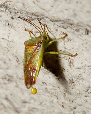 35 Green Shield Bug, PAWS Campus 091711 KM (2)