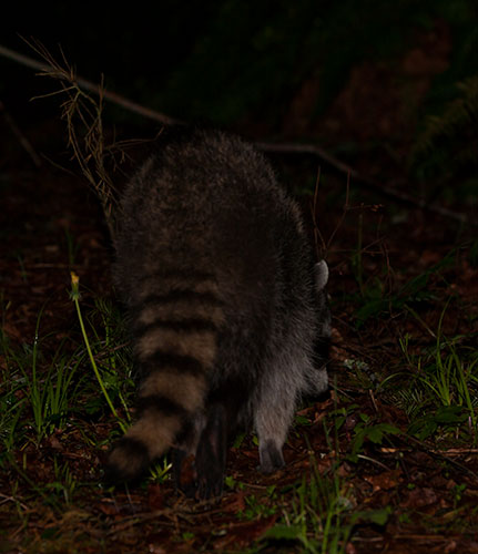 Raccoon-release-3