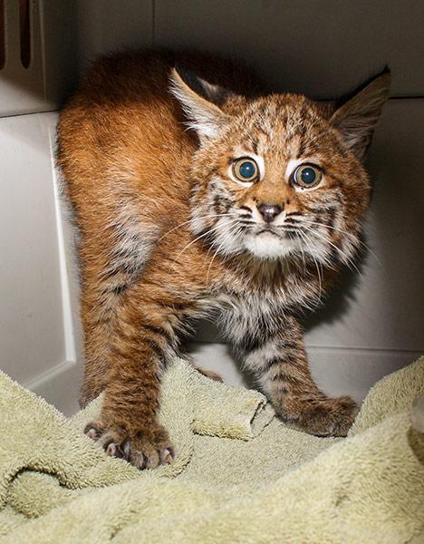 Bobcat-122278-1