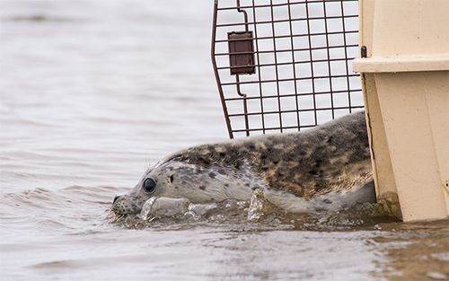 Harbor-Seal-1