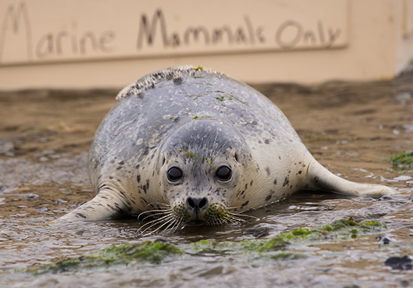 Harbor-Seal-3