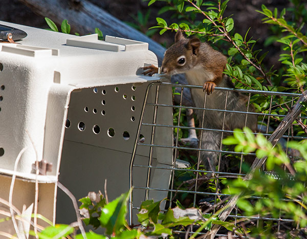 Red-Squirrel-Release-3