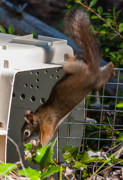 Red-Squirrel-Release-5
