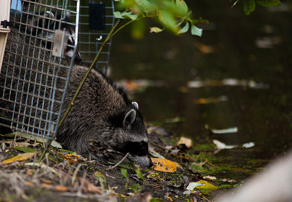 Raccoon-Release-4