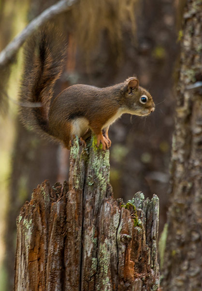 Red-Squirrel-Release-8
