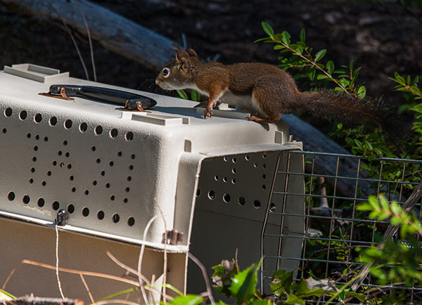 Red-Squirrel-Release-4
