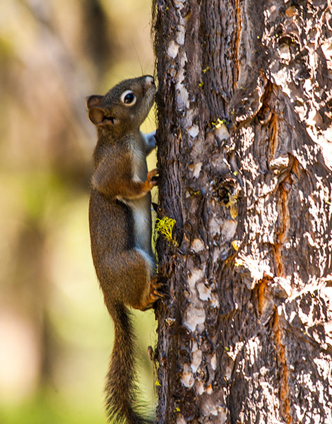 Red-Squirrel-R