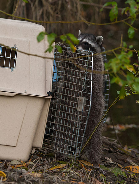 Raccoon-Release-1