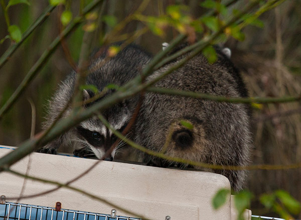 Raccoon-Release-2