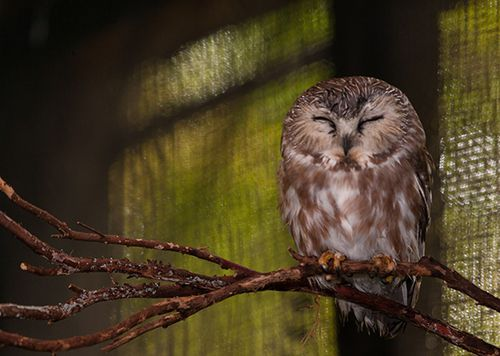 Northern-Saw-whet-Owl-12-27