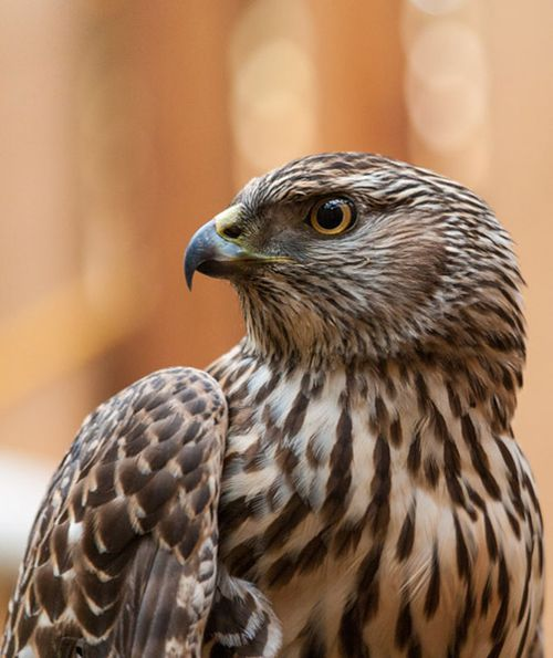 Northern-Goshawk-profile