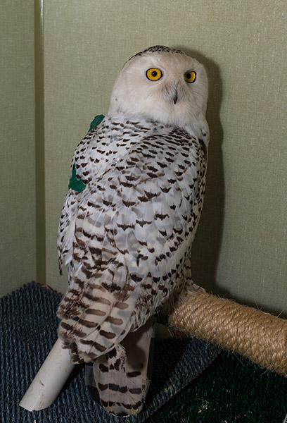 Snowy-Owl-122880-1