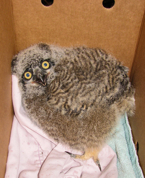 Great Horned Owl chick arrives at PAWS