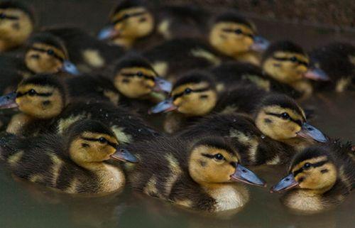Mallard-ducklings-042413-KM