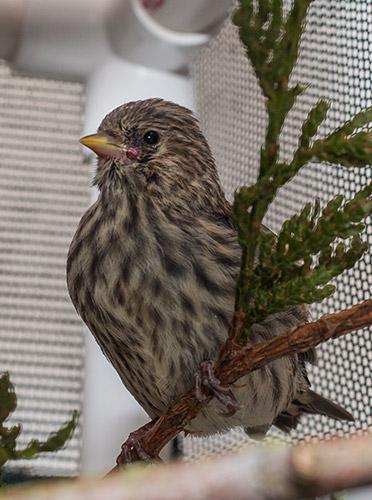 Pine Siskin fledgling