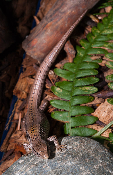 Northern-Alligator-Lizard-1