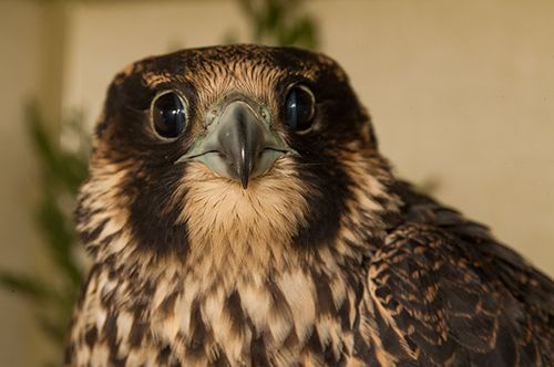Peregrine-Falcon-131982,-in