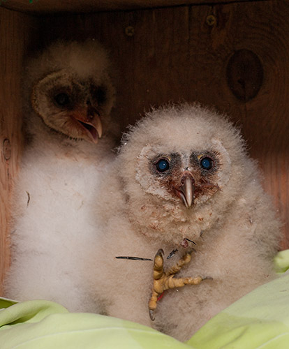 Barn-Owls-130919-and-130920