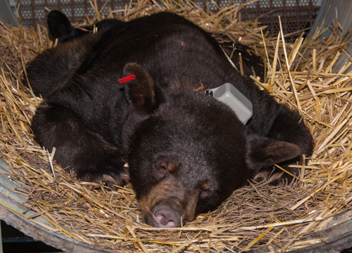 Black Bear exam before release