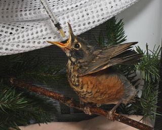 American Robin nestling, 050511 KM