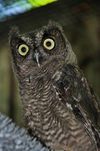 Western-Screech-Owl--141090-070814-JM-(8)-2-web-resize