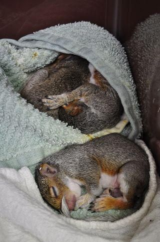 Eastern-Gray-Squirrel-Sleeping-08212014-web-resize-KS
