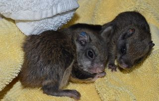 Flying-Squirrel-Babies,-FB-Sept-10