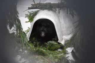 American-Black-Bear-143356-12182014-JM-(7)-KS-web-resize