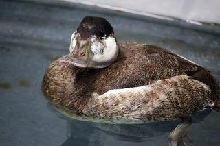 Ruddy-Duck-02162015-JM-(1)-KS-web-resize