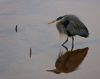 Great-Blue-Heron,-Nisqually-NWF,-020213-KM-11-KS-resize