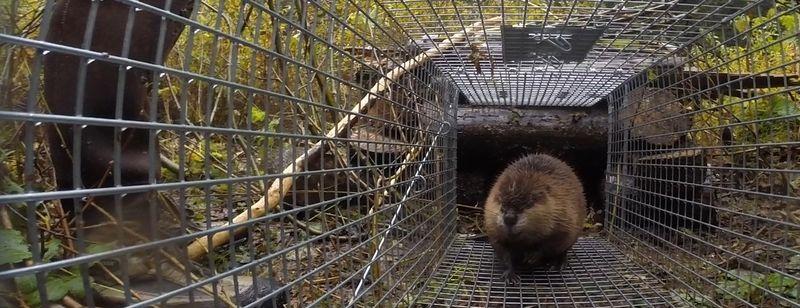 Beaver-in-trap-KS-edit