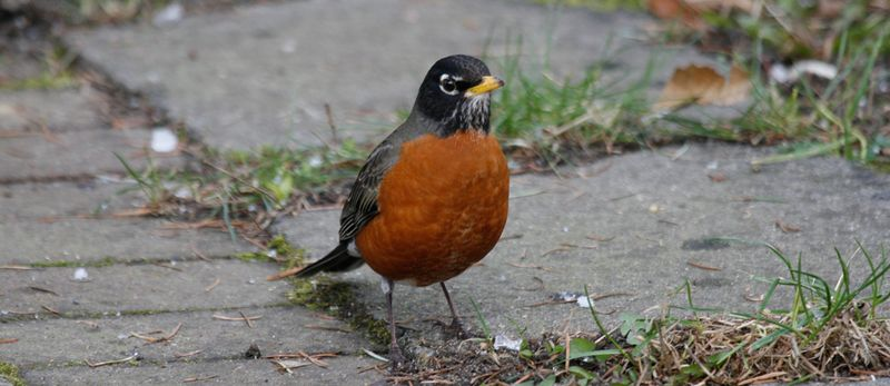 American-Robin-KS-edit