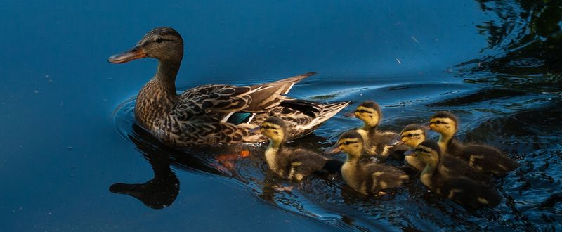 Mallard-Duck-family-KS-edit