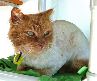 Longfellow shaved
