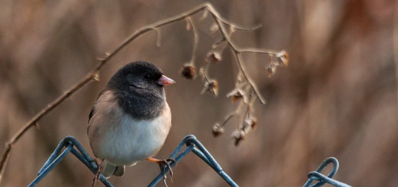 Dark-eyed-Junco-on-PAWS-campus,-KS-edit-for-blog