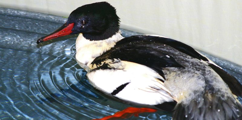 Common-Merganser-KS