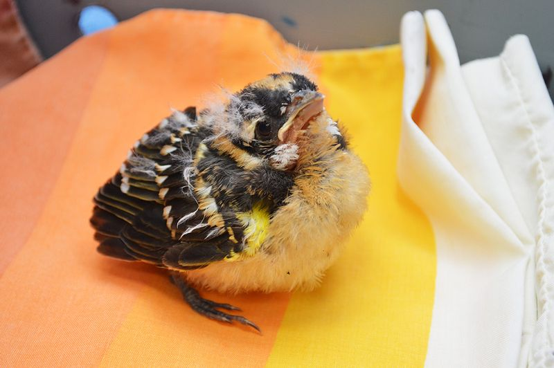 Balck-Headed-Grosbeak-baby-bird-PAWS