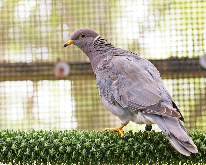 Band-tailed Pigeon 100105 in Ekker Cage, 042910 (2) KM