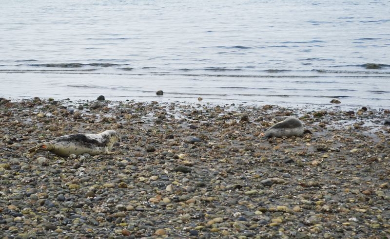 Harbor Seal 2427 & 2655 release 10122015 RC (31a)