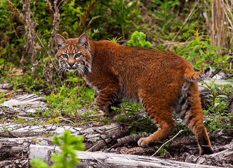 Bobcat 122278, release, 051513 KM-9-Edit-2