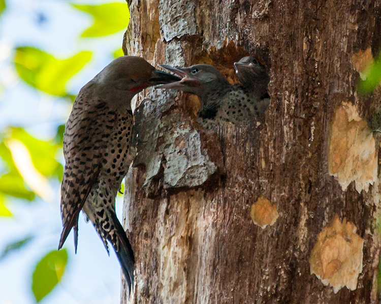 750 Northern Flicker, active nest PAWS Campus 062012