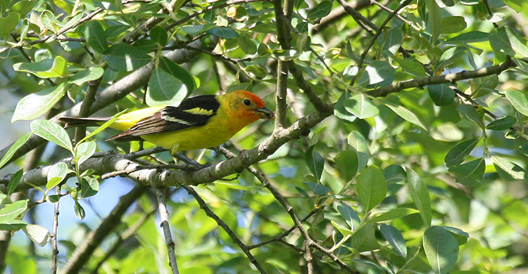 750 Western Tanager, PAWS Campus 051110 KM (4)