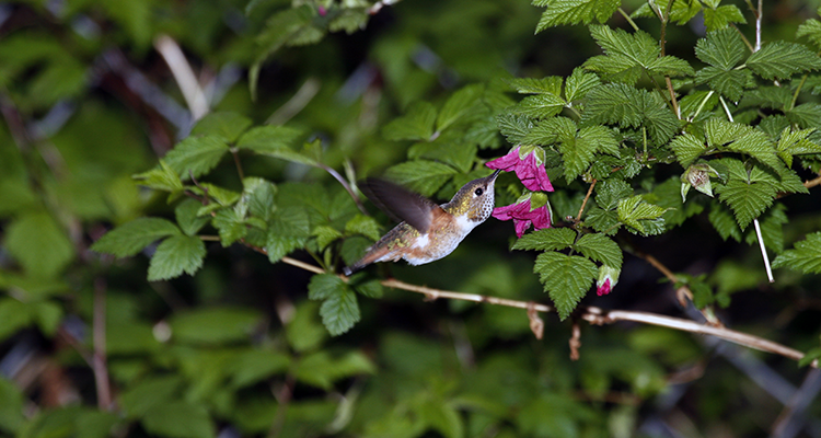 750 Female Rufous Hummingbird at Salmonberry flower
