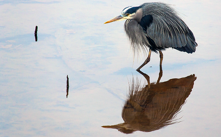 750 Great Blue Heron, Nisqually NWF, 020213 KM-11