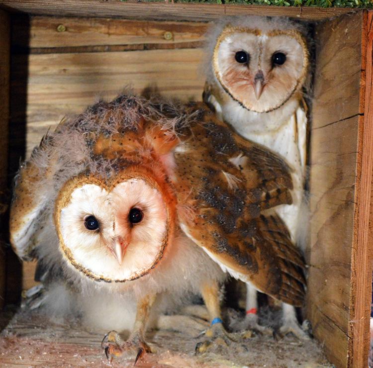 750 Barn Owl (1)