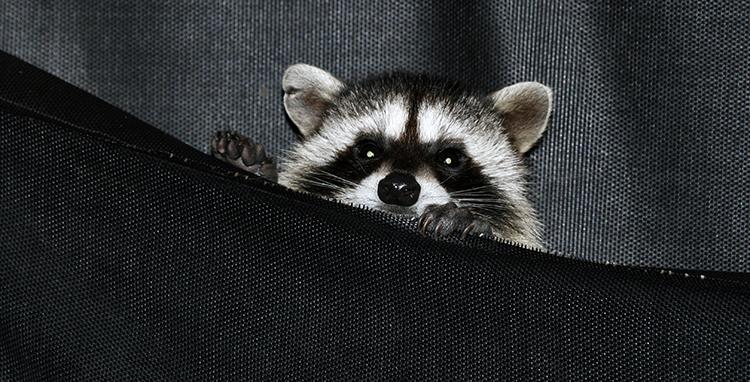 750 Raccoons in new hammocks, summer 2008 KM