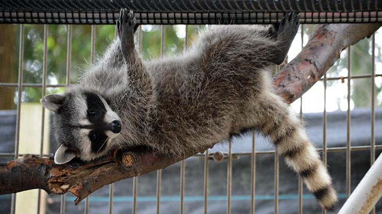 750 Raccoon Enrichment 10062015 JM (37)