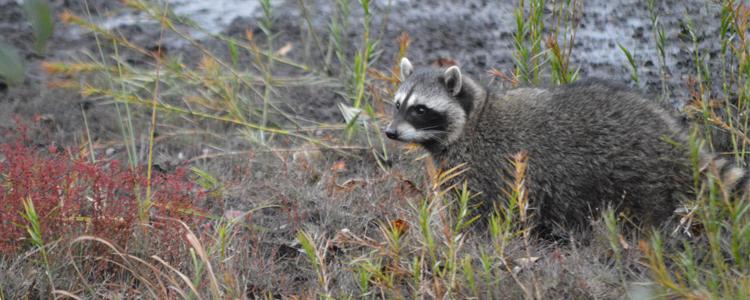 Raccoons3_101316
