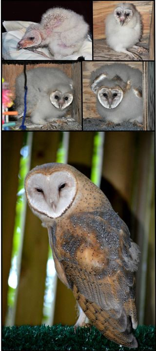 Barn-Owl-Growth-no-border