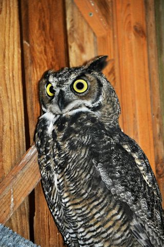 Great-Horned-Owl-KS-web-resize